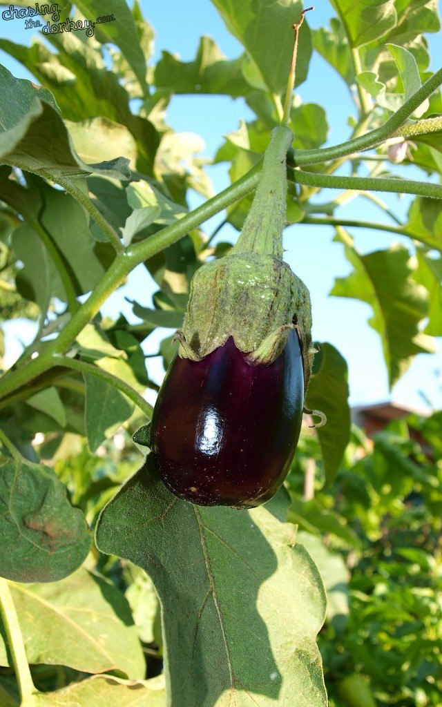 CROATIAN COOKING EGGPLANT GREEN GARDEN