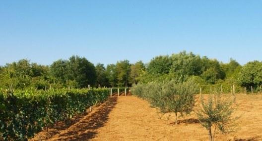 Village Life: Olive garden
