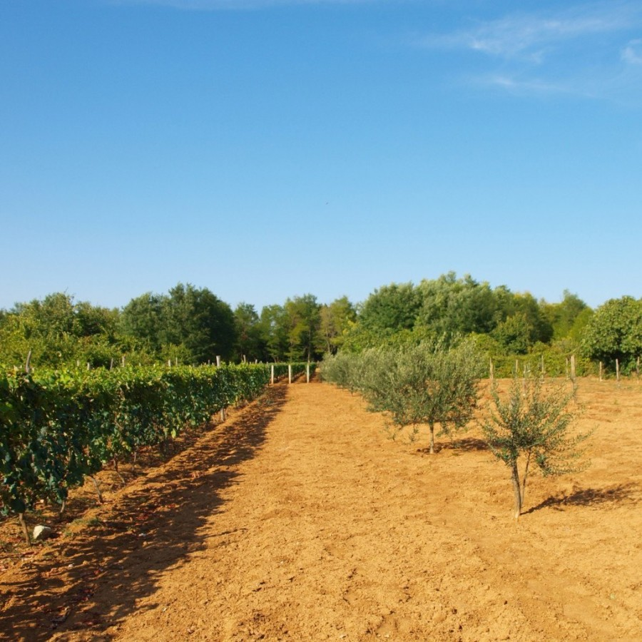 expat adventures olive trees