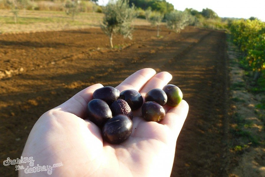 expat in the olive gardening