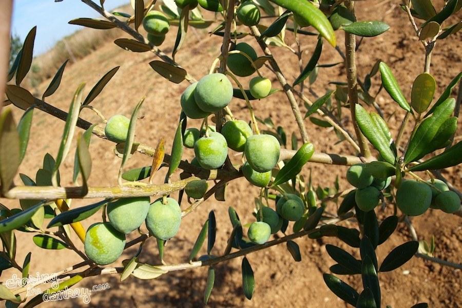 expat olives