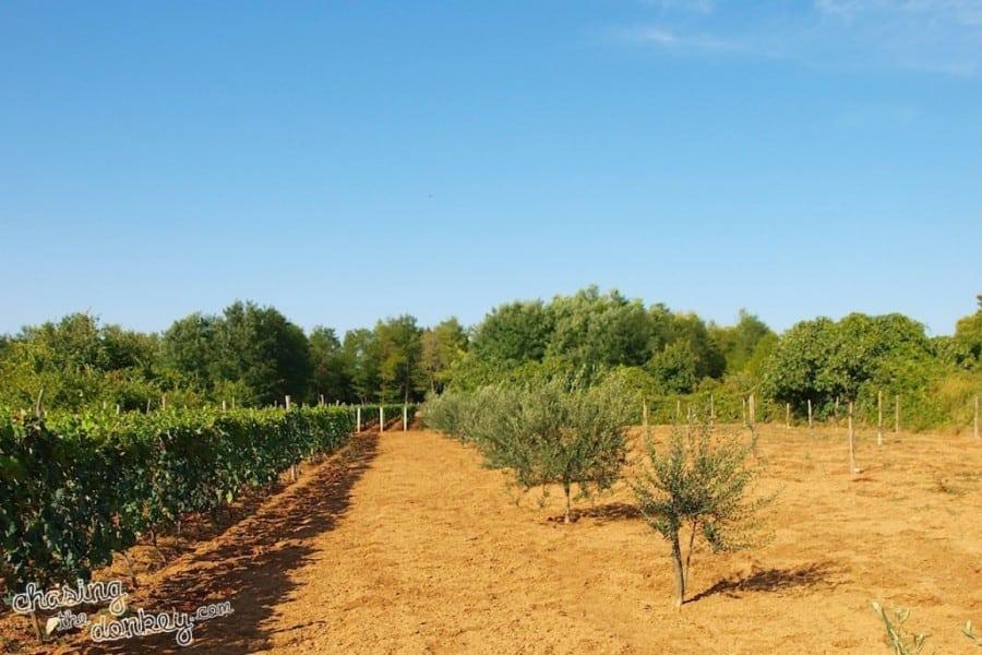 expat olive gardening