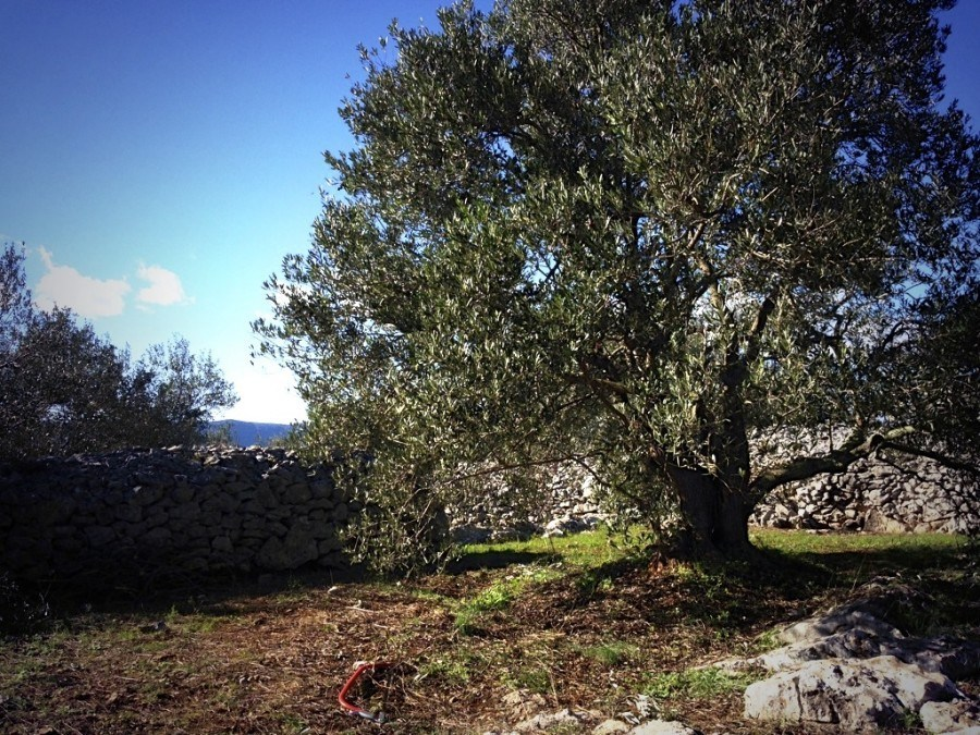 """One of the 70-ish olives picked this olive season. Note the """"mocira"""" in the background."""