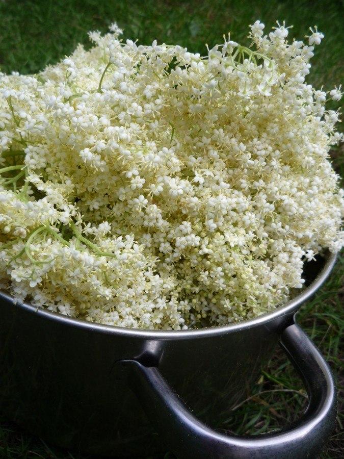 elderflower cordial recipe flowers