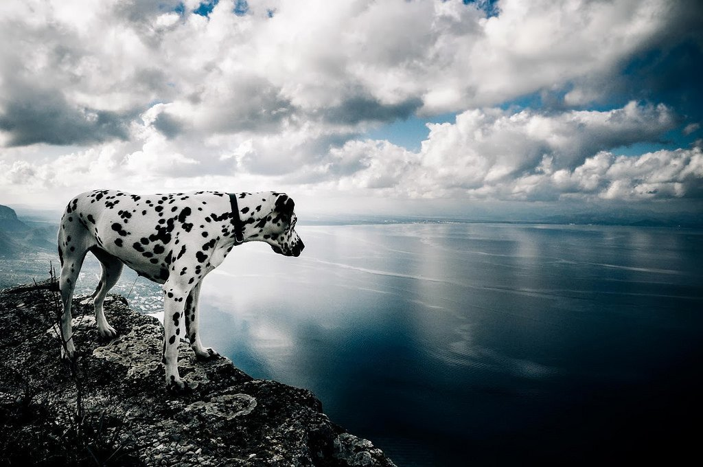 Dalmatian Dog Breed - Chasing the Donkey