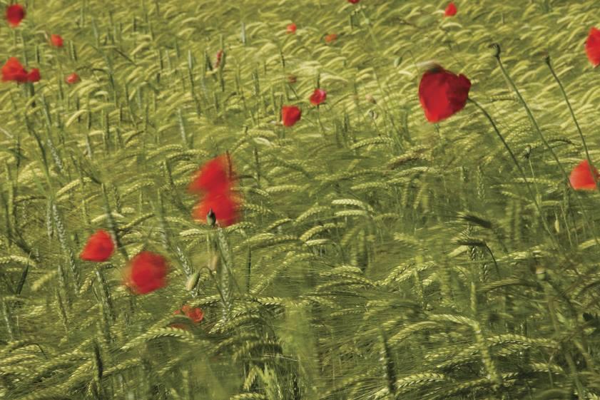 Travel Croatia red poppies
