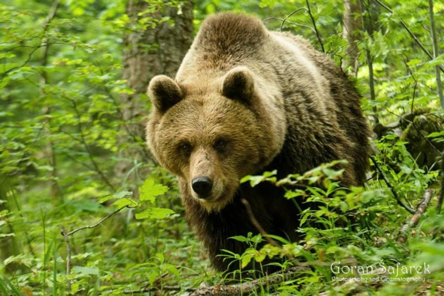 Bear Travel Croatia: Nature and Animals - Photo Credit Goran Šafarek