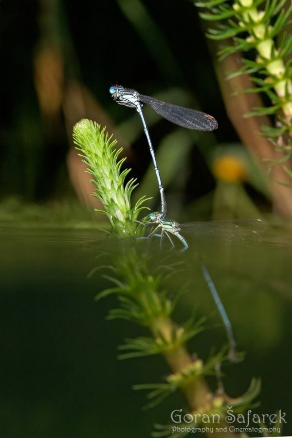 Magical Drahonfly Travel Croatia: Nature and Animals - Photo Credit Goran Šafarek