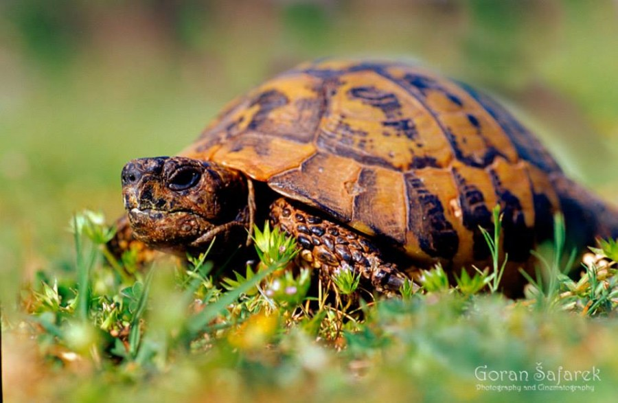 Tortoise Travel Croatia: Nature and Animals - Photo Credit Goran Šafarek