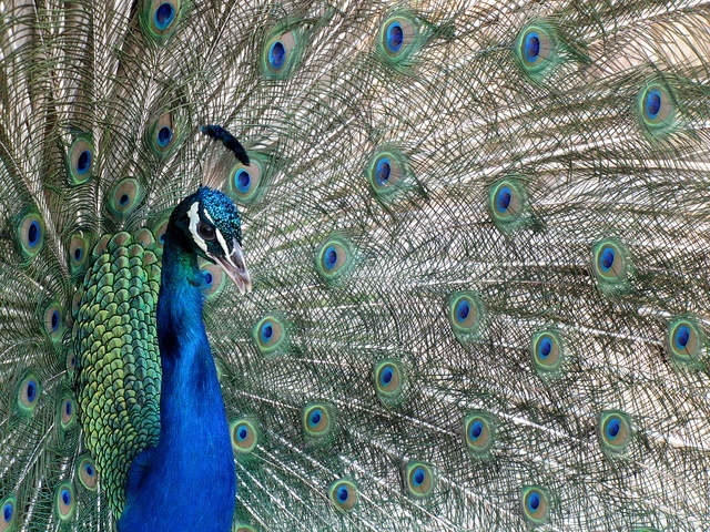 Lokrum Peacock | Croatia Travel Blog