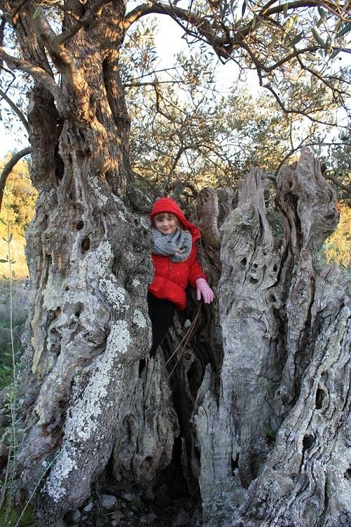 Oldest olive tree Hvar | Travel Croatia Guide