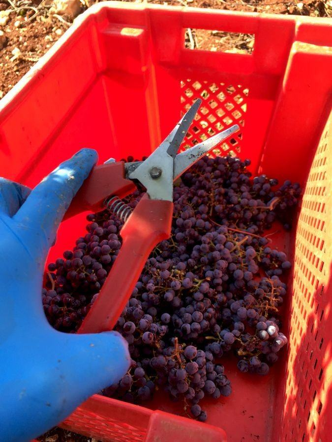Croatia Wine: Bruno Trapan Wine harvest | Croatia Travel Blog