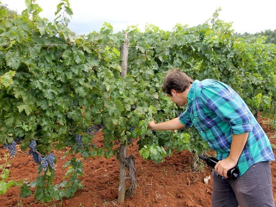 Croatian Wine: Bruno Trapan Harvest | Croatia Travel Blog