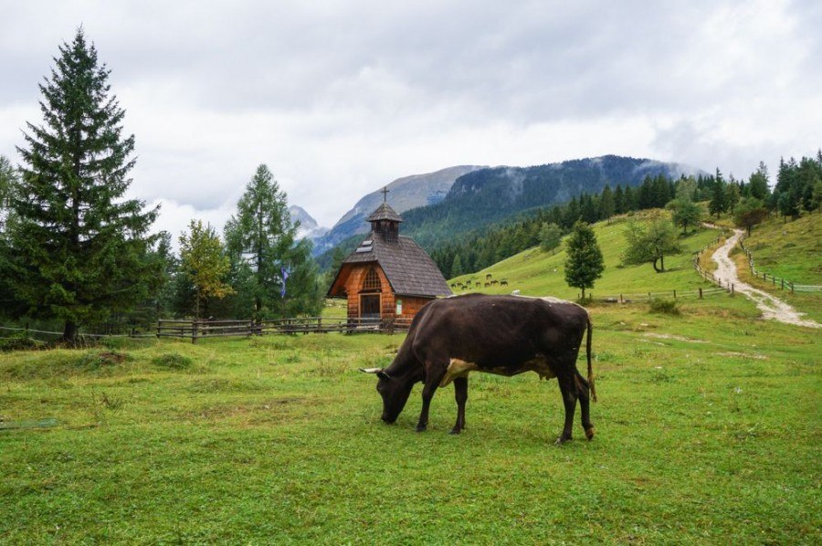 Cow - Adventure in Slovenia | Slovenia Travel Blog