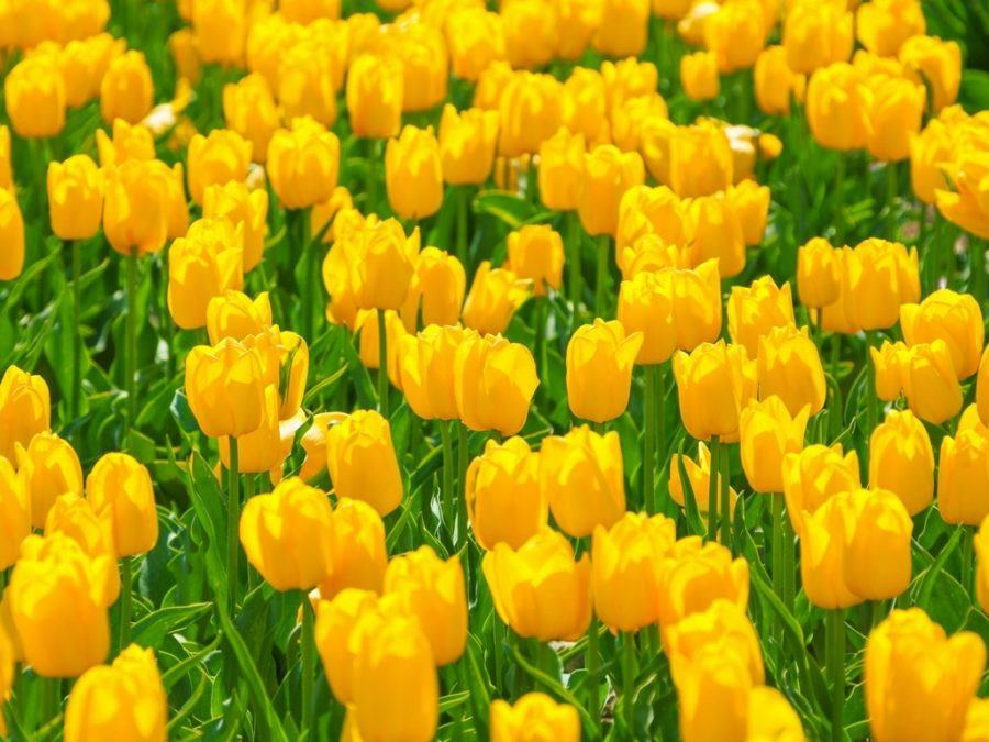 Spring Things to do in Slovenia Tulips