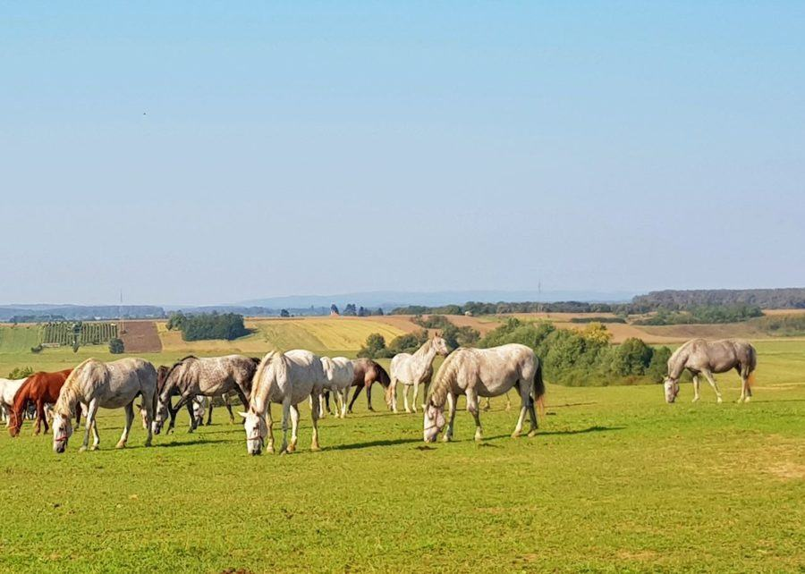 Things To Do In Slavonia - Stud Farm Horses