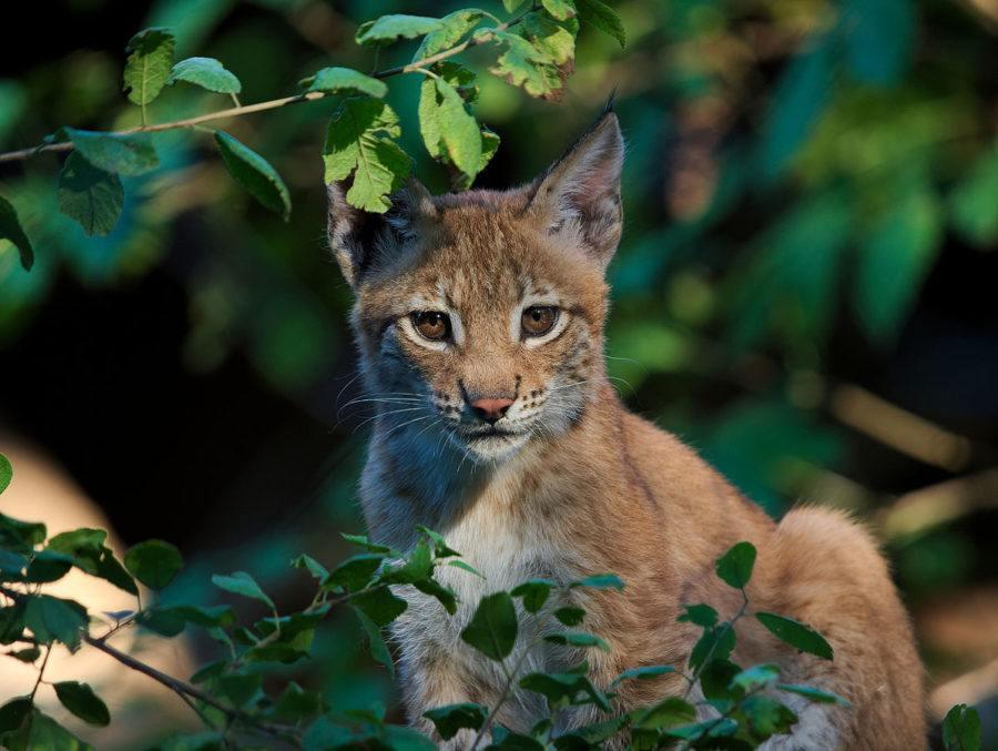 Shebenik-Jabblanicë-National-Park_Eurasian_lynx_Lynx_lynx