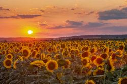 Beat The Crowds In Slavonia_Field of sunflowers