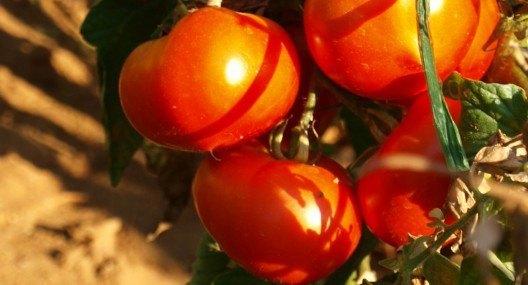 Dalmatian style tomato sauce {Pomodori / rajčice}