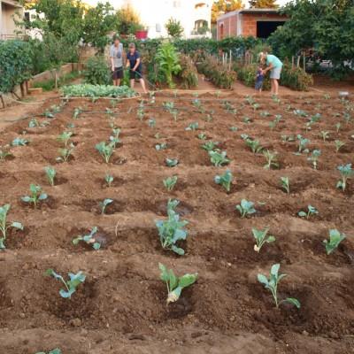 cabbages summer green gardening